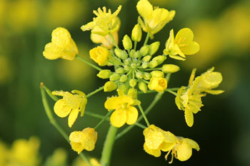 Rai (Mustard) Ke Benefits in Hindi Me
