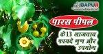 पारस पीपल के 13 लाजवाब फायदे गुण और उपयोग | Paras Pipal Benefits in Hindi