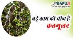 कठगूलर (कठूमर) के लाभ उपयोग गुण और दुष्प्रभाव | Ficus hispida (Hairy Fig) Benefits & Side Effects in Hindi