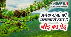 Cheed Ped ke Fayde in Hindi | चीड़ पेड़ के फायदे ,गुण ,उपयोग और नुकसान
