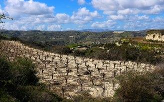 Weinreben auf Zypern