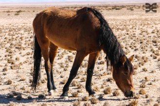 wilde Pferde von Garub