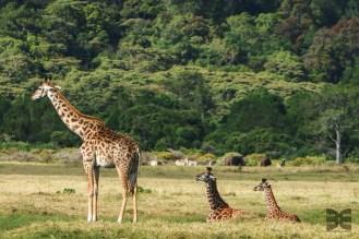 relaxte Giraffen