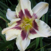 Day lily, white and purple
