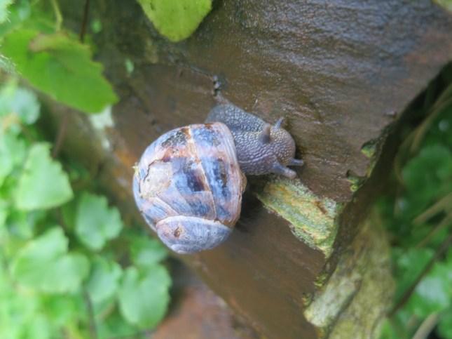 Cornish Snail