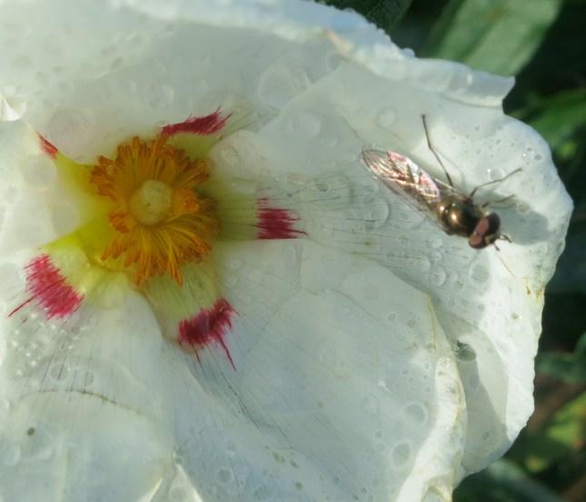 Iridescence on a fly on a Cistus flower