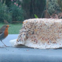 Robin at the pastry bird-seed cake