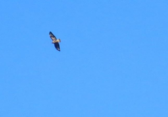 Buzzard in a blue sky