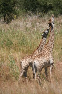 Giraffes about to kiss