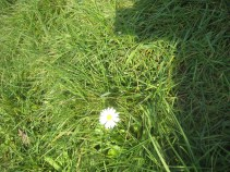 Sun-kissed daisy in our lawn today