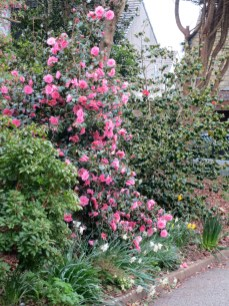 Camellia and daffodils in a garden