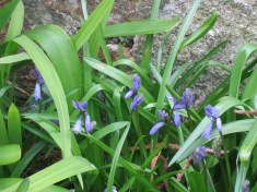The first Bluebells I've seen this year - very early