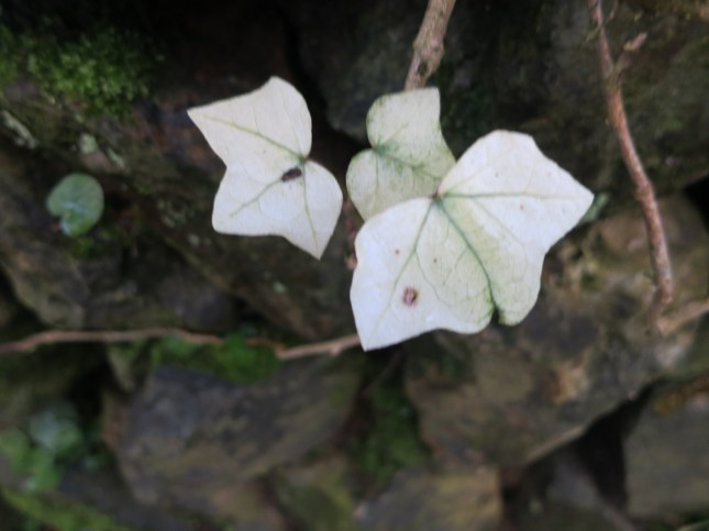 White ivy leaves