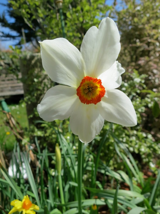 Another beautiful Narcissus
