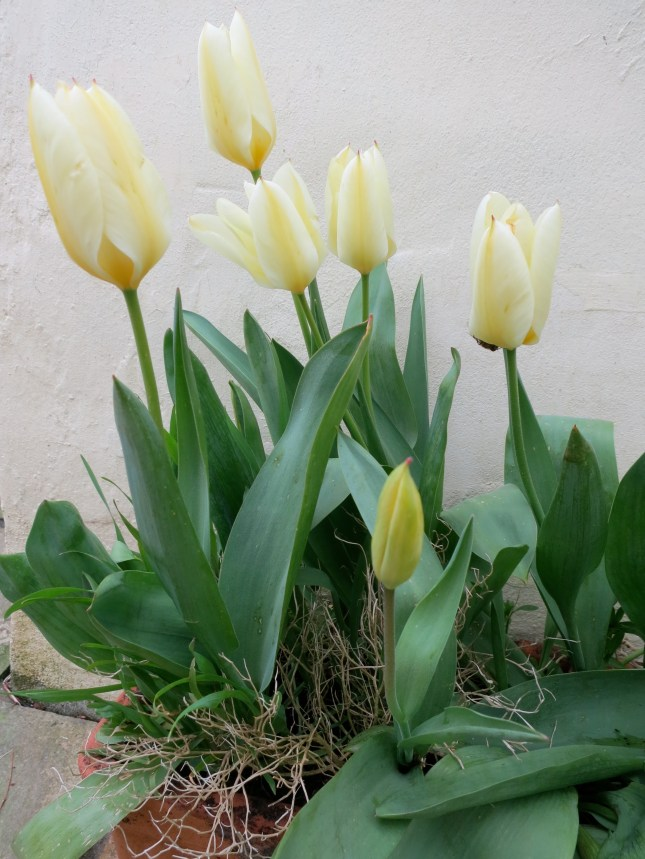 Creamy tulips