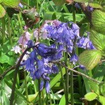 English Pink and Bluebells