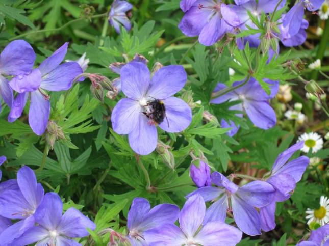 Bee on Johnson's Blue Geranium