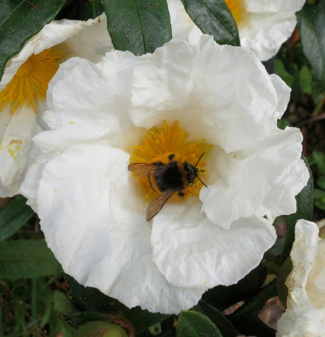 Bee on White Cistus