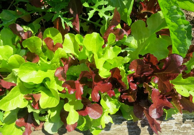Red and green lettuces