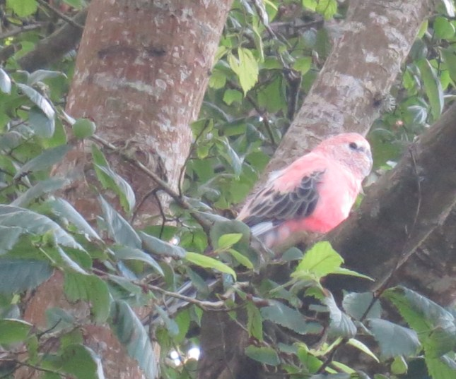Is this a Galah?