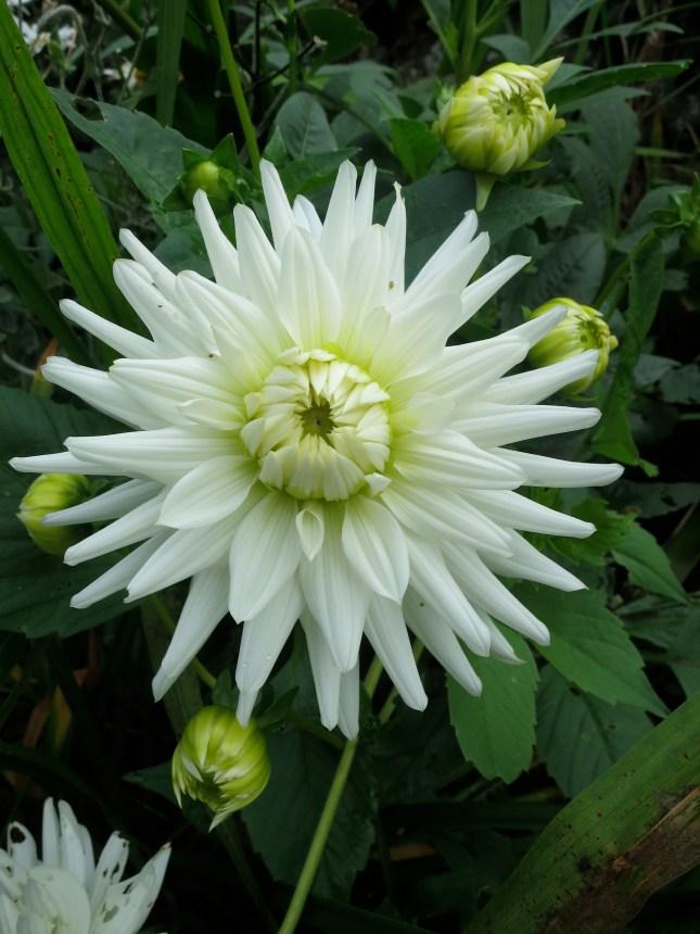 Another white dahlia