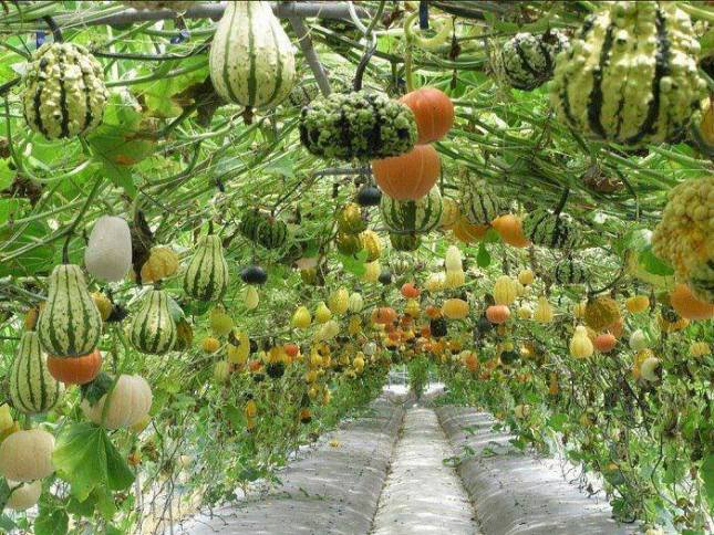 A Tunnel of Gourds from Modern Pioneer