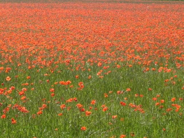 Poppy field in Doncaster June 2010