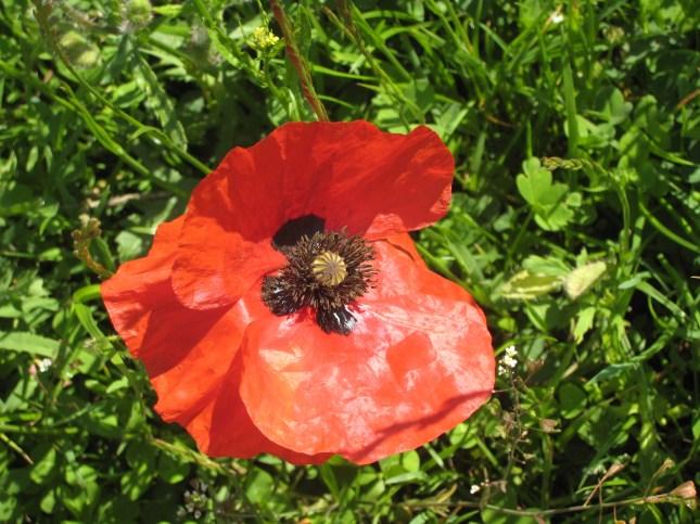 Poppy from that field