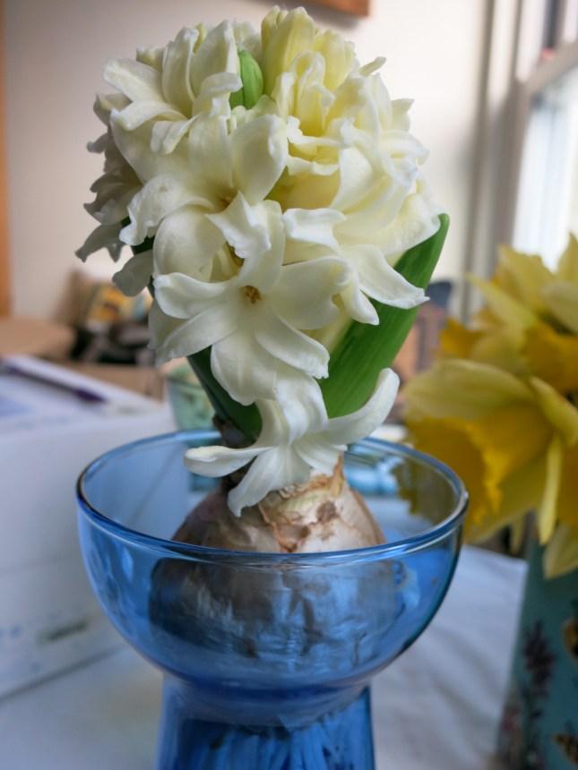 Hyacinth in blue glass 28.1.14