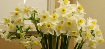 Dad's Cornish Daffs