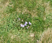 Cornish Violets growing on the cliff at the Ceremony spot