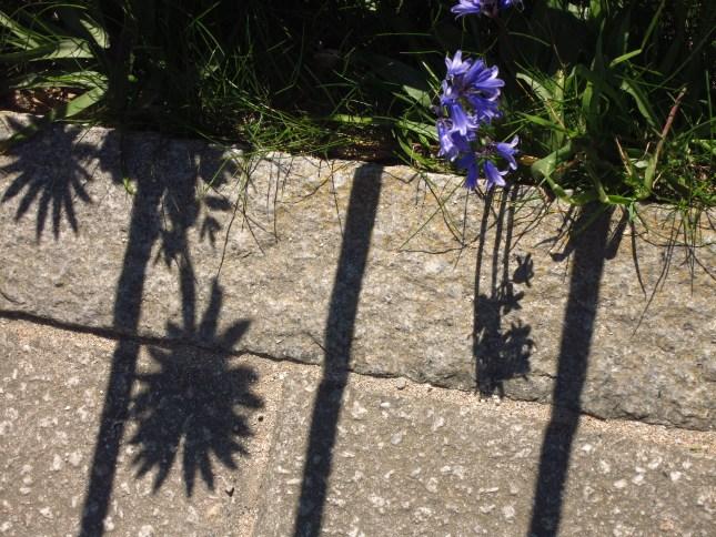 Bluebells and Shadows of osteospermum