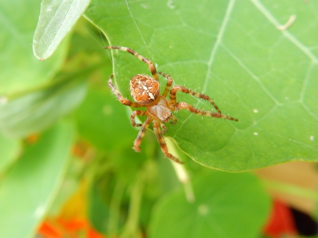 Spider, making a web
