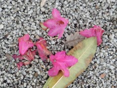 Dropped Rhododendron flowers