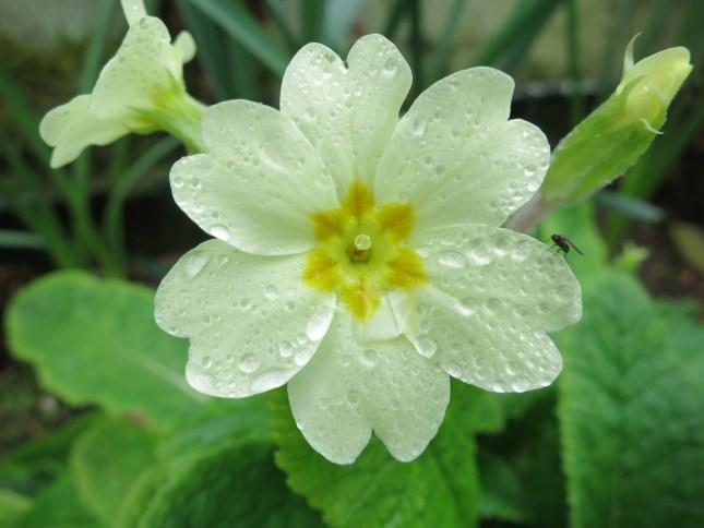 Primrose after rain