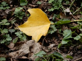 Yellow ivy leaf