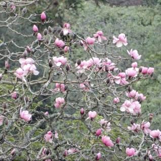 Magnolia - close up