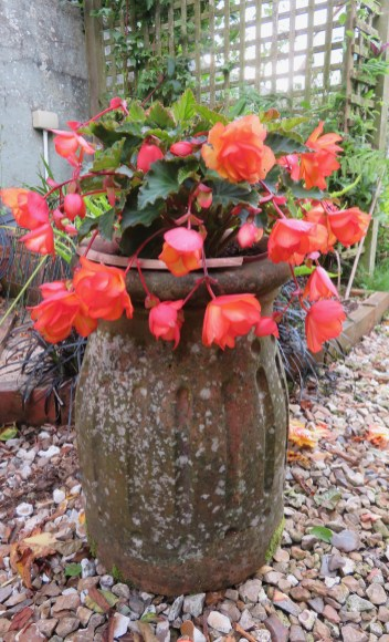 Begonias on the way to the vegetable garden
