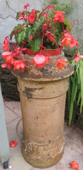 Begonia on one side of the arbour on the back sitting area