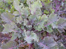 Kalettes, bring attacked by caterpillars