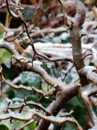 A drip on Ti's Corkscrew Hazel