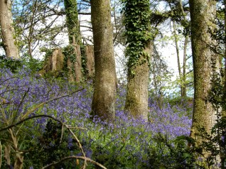 More beautiful bluebells