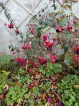 Fuchsia Lady in Black, needs training up the wall