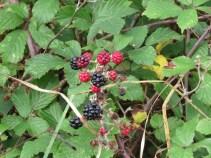 Black and unripe berries