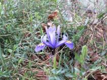 Iris Reticulata,