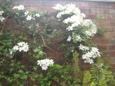Clematis Montana white and a touch of yellow Winter Jasmine