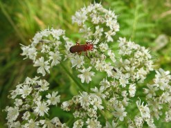 Red creature on some Cow parsley