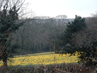 One of the daffodil fields behind The Fox and Hounds at Comford where we stopped off for our dinner