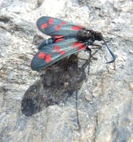 Six Spot Burnet Moth found on the rocks