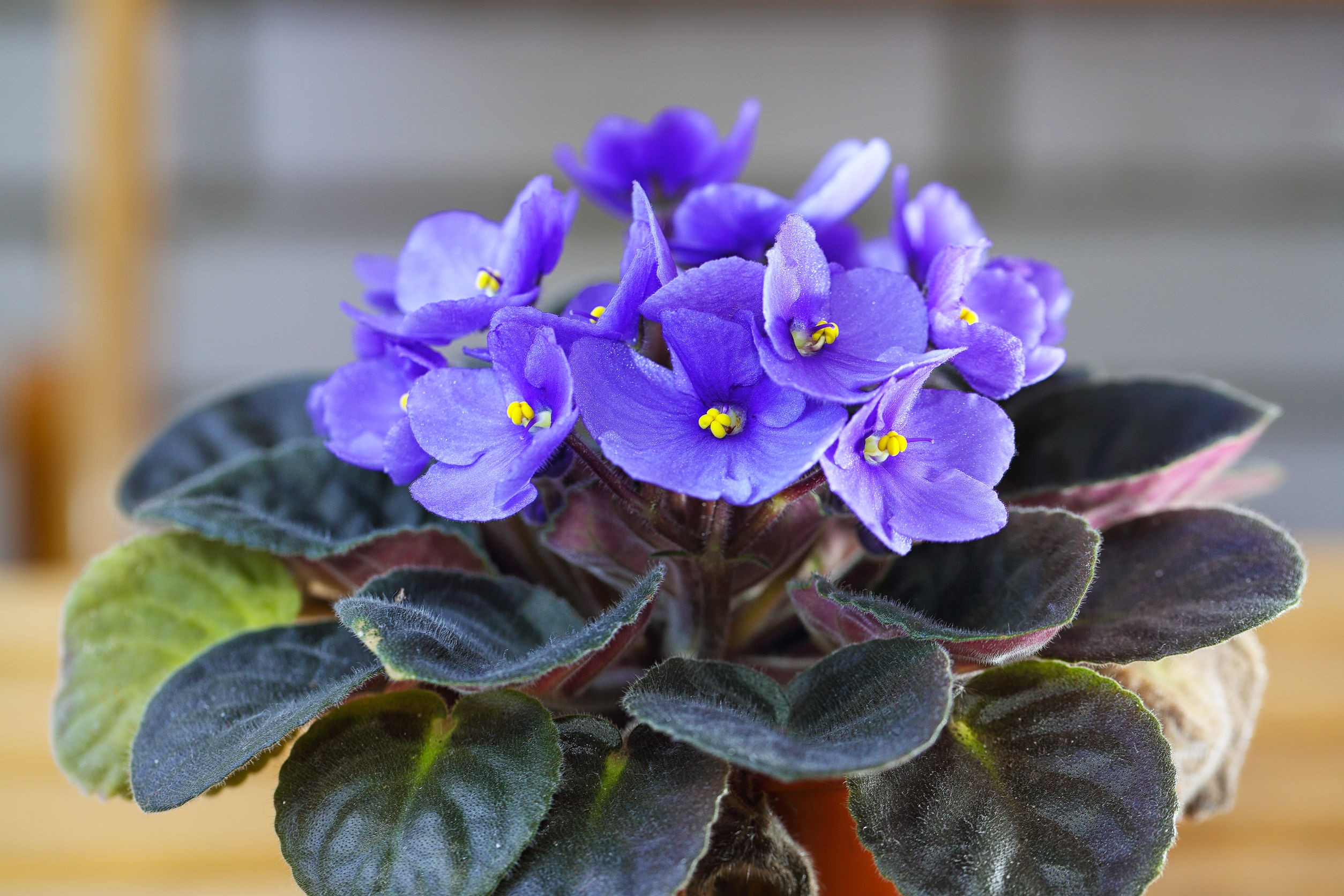 Plants that are safe for cats and dogs - African Violet